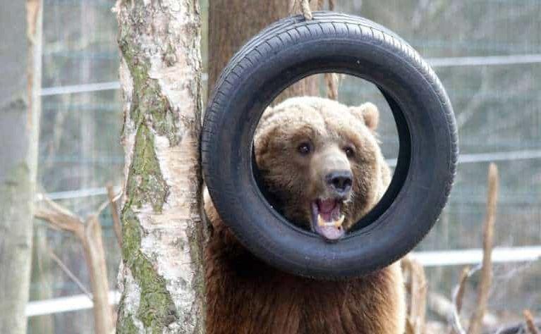 Niedźwiedź Baloo, odebrany z cyrku Vegas przez działaczy \