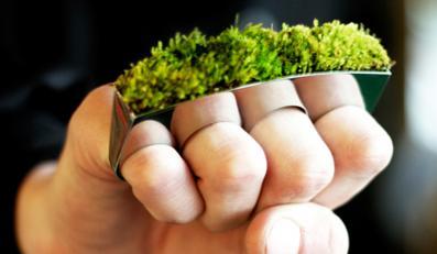 Żywy pierścionek wymaga podlewania i nawożenia