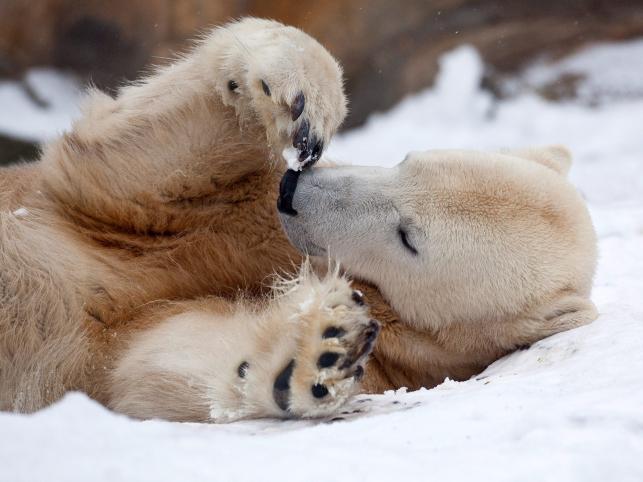 Knut odpoczywa na śniegu w grudniu 2009 roku