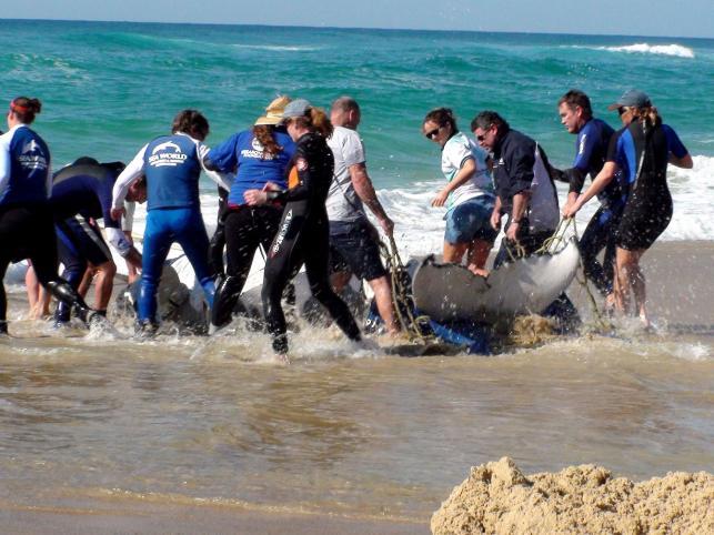 Ekipa ratowników przenosi wieloryba do morza