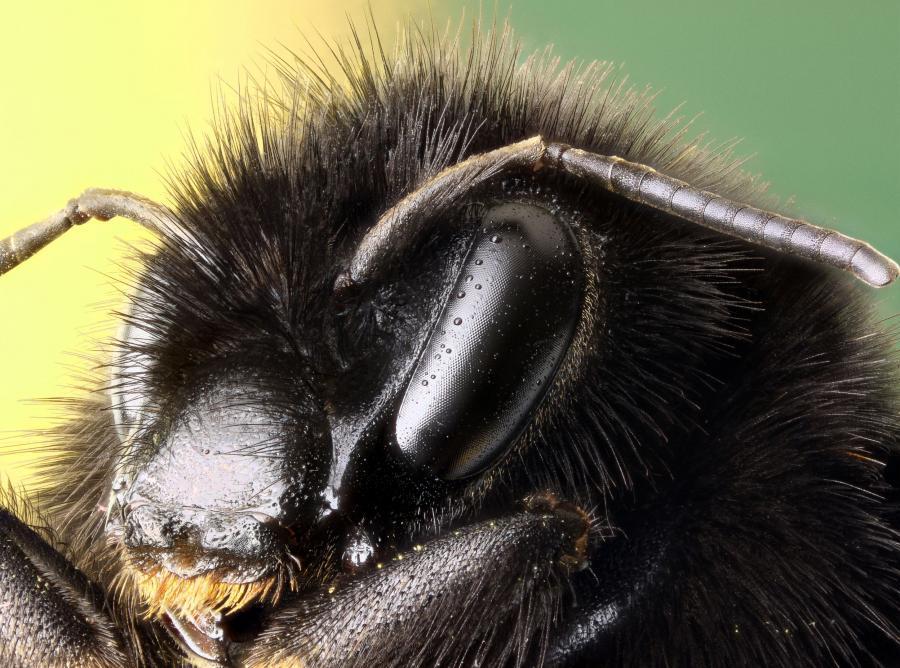 pszczoła osa szerszeń owad