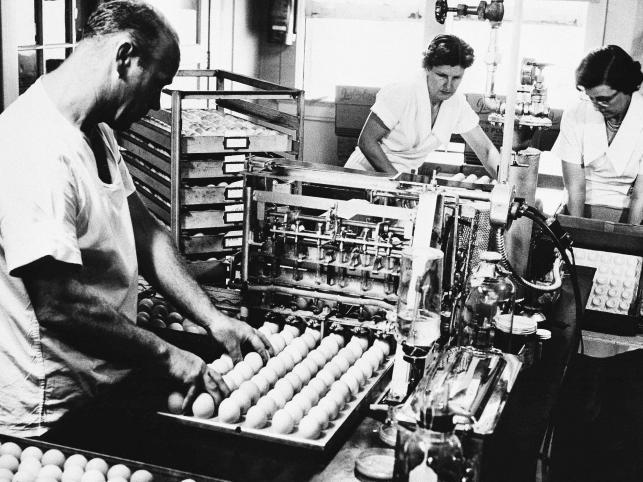 Tak kiedyś produkowano szczepionkę przecwko grypie. Na tym zdjęciu z 1957 roku pracownicy amerykańskiego koncernu Eli Lilly w laboratorium w Greenfield zarażają grypą jaja kurze azjatycką odmianą wirusa grypy