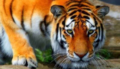 Lek z tygrysa podrabiano w wietnamskiej rastauracji