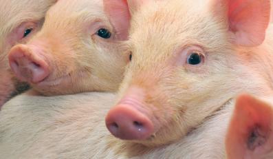 świnia świnie