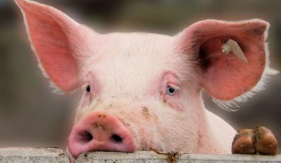 świnia prosiak prosię wieprzowina