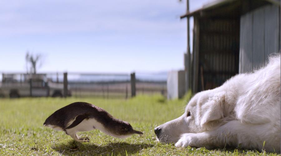 Pies najlepszym przyjacielem pingwina?